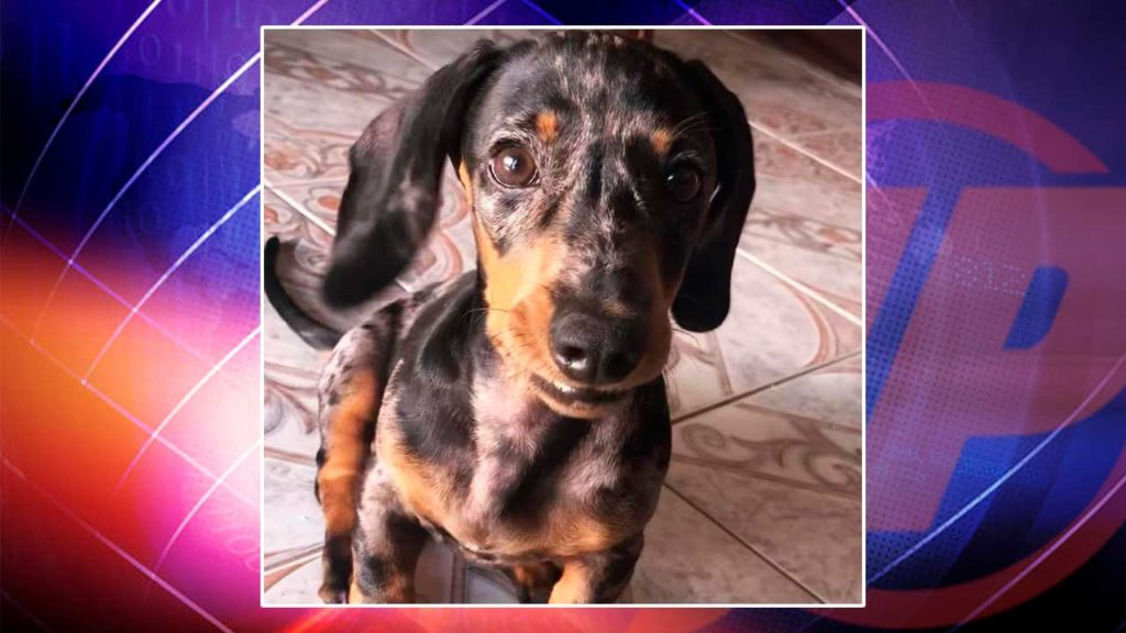 Foto de Simba, cachorro que está desaparecido