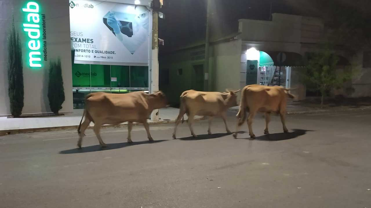 Animais transitam livremente pelo Centro de João Pinheiro durante a noite e levam perigo a motoristas